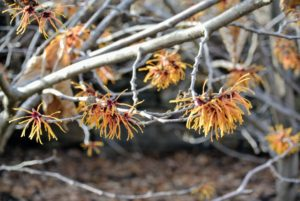 Witch hazel works well as a natural remedy because it contains tannins, which when applied to the skin, can help decrease swelling and fight bacteria.