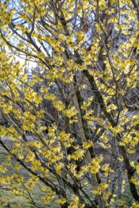 There are four types of witch hazel - Hamamelis virginiana, Hamamelis vernalis, Hamamelis japonica and Hamamelis mollis. All of these produce flowers with strap-like crumpled petals.