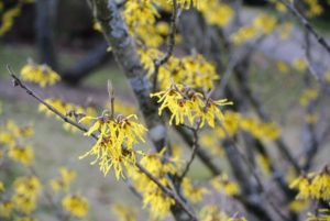 Hamamelis mollis, or Chinese witch hazel, is the most fragrant of all the species. Chinese witch hazel begins blooming as early as January and has buttery yellow petals and clear yellow fall foliage.