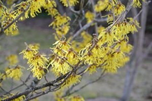 Japanese witch hazel, Hamamelis japonica, has showy yellow or red flowers.