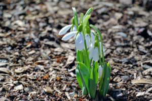 Snowdrops are a pest-free plant. Rabbits and deer won't eat them, and most chipmunks and mice leave them alone.