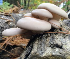 PoHu, Pleurotus ostreatus, produces large, leafy clusters of ochre-colored mushrooms and are heavy producers. (Photo provided by Field & Forest Products)