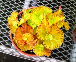 And, my newest favorite - Begonia 'Martha Stewart'. Logee's named a fancy leaf begonia after me!