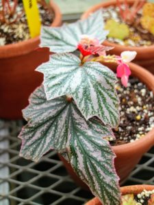 Foliage begonias, like rex begonias, are grown for their fancy leaves that have many beautiful colors highlighted by unusual markings and swirls in the foliage. They make a sensational statement when grown on a partially sunlit windowsill.