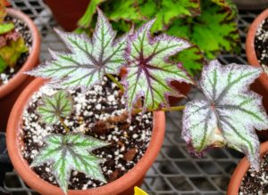 Begonias should be fertilized with a balanced liquid fertilizer during the active growing season in summer. Flowering begonias can benefit from pinching back long stems to encourage more side branching that increases the overall fullness.