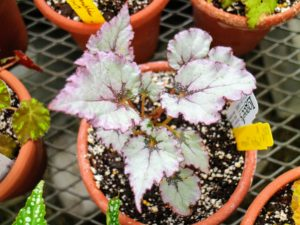 Begonia 'Satin Jazz' is a new rex begonia hybrid developed by begonia breeder, Mike Kartuz. It has dusty colors of grayish-green with striking maroon borders and deep red veining. Unlike many rex begonias it doesn't go dormant in the winter so it provides year-round color.
