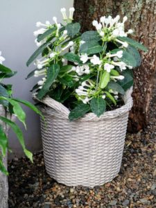 On February 5th, I will introduce my Wicker Planters - also made of the lightweight fiber resin. This one is planted with stephanotis, a species of flowering plant in the family Apocynaceae, native to Madagascar.