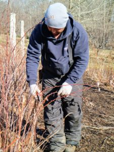 Here is Wilmer pruning the raspberries. Raspberries are unique because their roots and crowns are perennial, while their stems or canes are biennial. A raspberry bush can produce fruit for many years, but pruning is essential. Wilmer trims the vigorous second year growth, snipping it to about 24-inches from the ground.