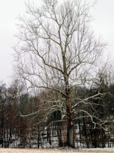 The mighty sycamore - a symbol of my farm, Cantitoe Corners.