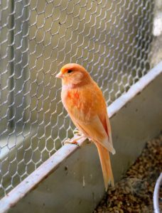 Canaries also love to see people, and will often recognize regular visitors to their cage.