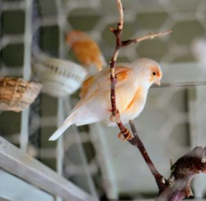 If you choose to keep canaries, remember to get the largest cage your home can accommodate, and the nicest cage your budget can afford. Canaries need room to flap their wings and fly from perch to perch.