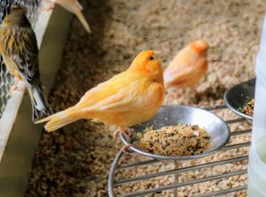 My canaries enjoy watching all the activity around the house - you can hear the males singing throughout the day.