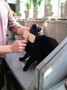 Blackie loves to be brushed, and often purs whenever he is groomed.