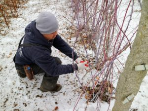 One big chore we always do during these colder months, oftentimes in between other farm projects, is prune the berry bushes that grow in the gardens around my main greenhouse.