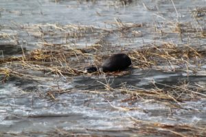 """Here is an otter at The Tarn. The Tarn is a shallow, weedy """"pond"""" located within Acadia National Park. River otters are relatively common throughout Maine in ponds, lakes, rivers, streams and along the coast. They're excellent swimmers, and their eyes are adapted to see food in murky and dark water."""