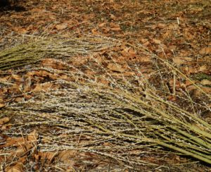 Pussy willows are very easy to propagate. And, while they don't take up a lot of space to grow, their roots can be quite invasive, so don't plant them near water lines or septic systems.