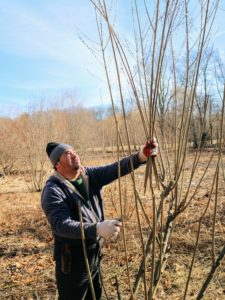Pussy willow trunks can be either single or clustered with flexible branches and branchlets. Wilmer is able to cut these branches without using a ladder.