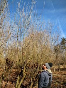 Wilmer works from the other side of the grove and checks to make sure he also picked the best pussy willows.