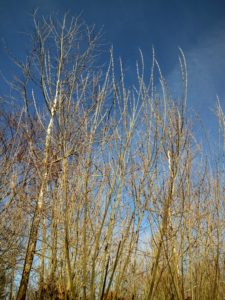 Pussy willow is a common name given to many smaller species of the genus, Salix, when their furry, velvety catkins are young. Salix discolor is the American pussy willow.