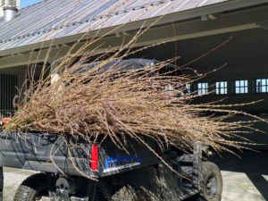 Ryan and Wilmer drove all the pussy willows to my carport and began separating them by type.