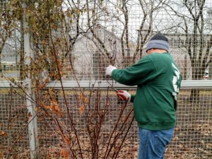 Wilmer starts on one side and works his way around over the course of a couple days. In general, pruning is done before the plant breaks dormancy. This will be early in the year in warm climates, and anytime between January and April in cold climates.