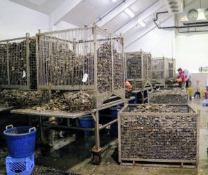 This is the processing room where thousands of oysters are sorted and washed. The longtime crew has established a very efficient production line.