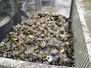The oysters then go into another cage ready for cleaning. Oysters that are too small and too young, less than three years, are tossed back into the water until they are more mature.