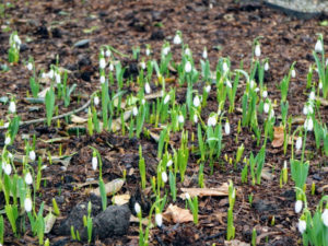 We've planted snowdrops in many different areas - around my Winter House, in beds surrounding my Tenant House, and in various tree pits near my front entrance.