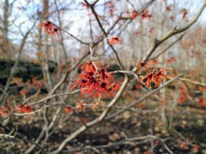Hamamelis vernalis 'Amethyst' is the finest red flowered witch hazel. It has a long flowering period throughout midwinter and is lightly scented.