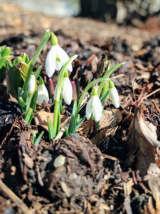 Plant snowdrops in groups of 10 or 25 or more to create an eye-catching display.