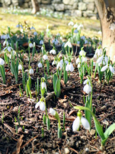When large clumps of snowdrops have become well-established they can become reluctant to flower – digging up and dividing the bulbs every few years will ensure prolific and annual displays.