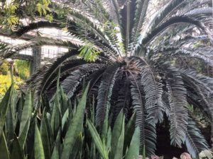 This is a magnificent specimen of Wood's cycad, Encephalartos woodii. It's a rare cycad in the genus Encephalartos, and is endemic to a region of South Africa. It is actually one of the rarest plants in the world, being extinct in the wild with all specimens being clones of the type.