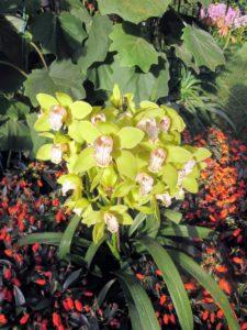 Here is a grouping of velvet groundsel, Roldana petasitis foliage, green Cymbidium orchids, under planted with seemannia, Seemannia sylvatica.