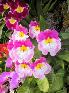 "This is a Miltoniopsis hybrid orchid. Miltoniopsis orchids are often referred to as the ""pansy orchid"" because their blooms are similar in appearance to pansies. Miltoniopsis blooms are large, flat, and round with broad lips. Blooms are seen in an array of bright colors such as yellow, pink, red, purple and white."