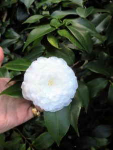 I also spotted this beautiful Camellia blossom - so perfect. Camellias are flowering, shade-loving, small trees or shrubs that are available in a remarkable range of colors, forms, and sizes. Depending on the variety they may bloom in late fall, winter and early spring. Their blooms come in a range of colors from white or pink to deep red - all against glossy dark green leaves.