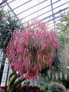 Here is a large basket of pseudorhipsalis, Pseudorhipsalis ramulosa. It is a shrubby, epiphytic cactus, freely branching basally with pendant, flat, reddish tapeworm stems up to two and a half feet long that turn deep violet red in high light. It produces lots of greenish-white or pinkish flowers followed by small, ornamental, shell berries lining both edges of the ribbon stems. Some of you may have seen mine in photos - I often hang it on my expansive porch during summer.