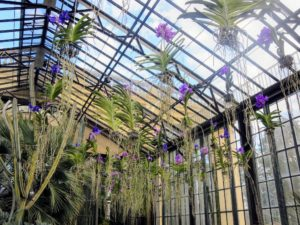 Hanging from the glass ceiling of the conservatory are more than 200 blue and purple Vanda orchids. They are hang above the Silver Garden pathway at Longwood - so gorgeous.
