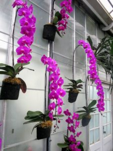 Nearby, we saw 100 cascading Taiwanese Phalaenopsis displayed in the Fern Passage - another eye-catching display of orchids.