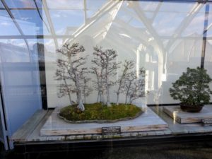 We also saw some of Bonsai - this was my favorite Bonsai from the collection, a loose-flower hornbeam, Carpinus laxiflora.