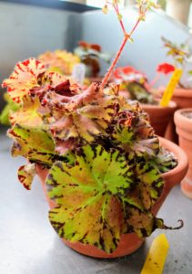 Rhizomatous begonias range from small, delicate plants with one-inch wide leaves to large, robust specimens with 12-inch wide leaves or more. The variety in their size and amazing color makes it such a popular houseplant.