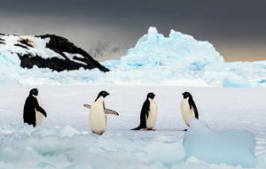 The Adélie penguin is a species of penguin common along the entire Antarctic coast, which is their only residence.
