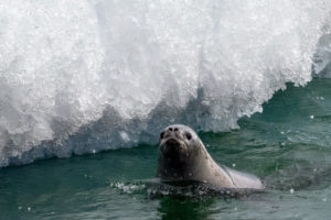 The Weddell seal, Leptonychotes weddellii, is a relatively large seal. Dr. Knapp got this quick photo of it in Hanusse Bay. They are very vocal - so vocal that many times, their calls can be heard from atop the ice even when seals themselves are below water.