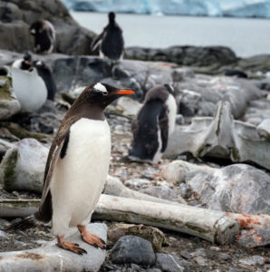 These are gentoo penguins. The long-tailed gentoo penguin is a penguin species in the genus Pygoscelis, most closely related to the Adélie penguin seen earlier.