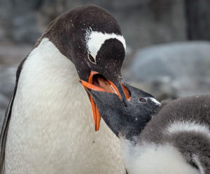 And this is a gentoo feeding its young.