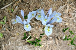 And right on time - signs of spring are emerging everywhere. These are 'Natascha' miniature iris – a lovely ice blue in color. They bloom in early spring and grow to about four to six inches tall.