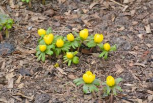 Winter aconite just waiting to open - these produce such cheerful yellow flowers that appear in late winter or earliest spring. And, they are deer resistant.