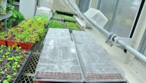 Other trays go into the main greenhouse set up on heating mats. Once there, the seeds get watered, and covered with tops to create a mini greenhouse environment for the plants. The tops will be removed once the seeds have germinated.