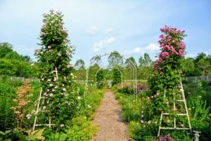 Here are two of my climbing roses during summer. This photo was taken last June - the trellises are so full of robust pink flowers.