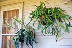 I love the way these lush green staghorn ferns catch the sunlight. These plants are mounted on wooden boards. Staghorn ferns are epiphytes, which means they are air plants. They gladly grow on a wall mount, which lets air circulate around them.