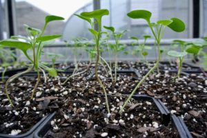 Selective thinning prevents overcrowding, so seedlings don't have competition for soil nutrients or room to grow.
